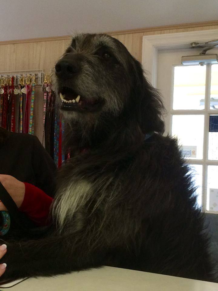 Seamus the Wolfhound at Bedford Greenwich Animal Hospital-Dogs